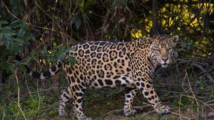 Le trafic de jaguars à la hausse, conséquence des investissements chinois en Amérique du Sud