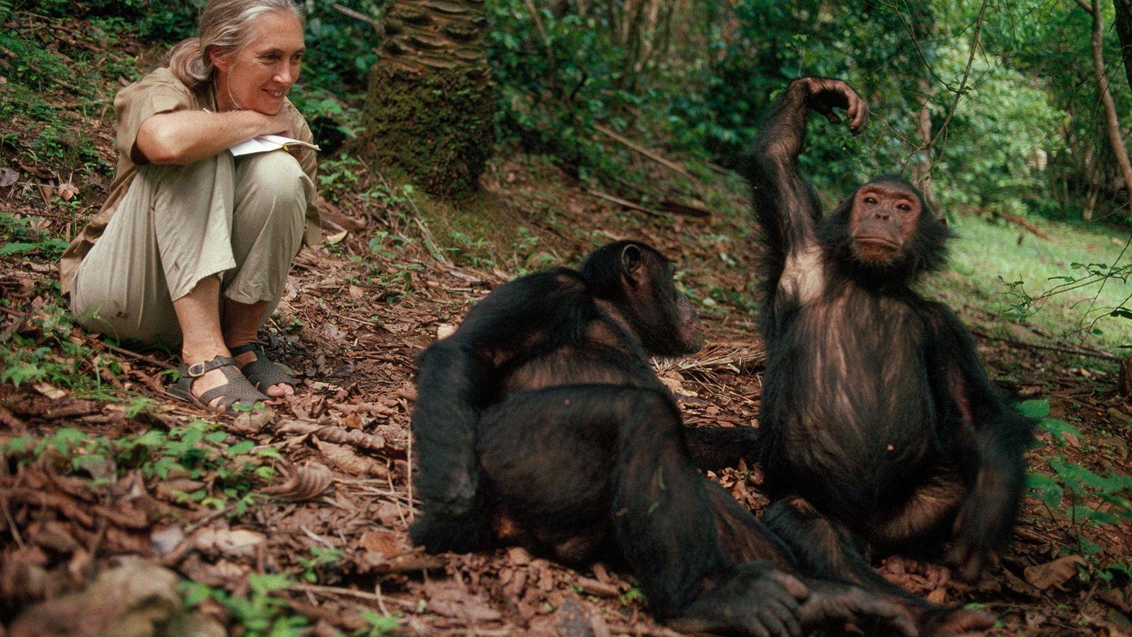 Récoltant les fruits d'années de dévouement, Jane Goodall sourit de toutes ses dents face aux chimpanzés ...