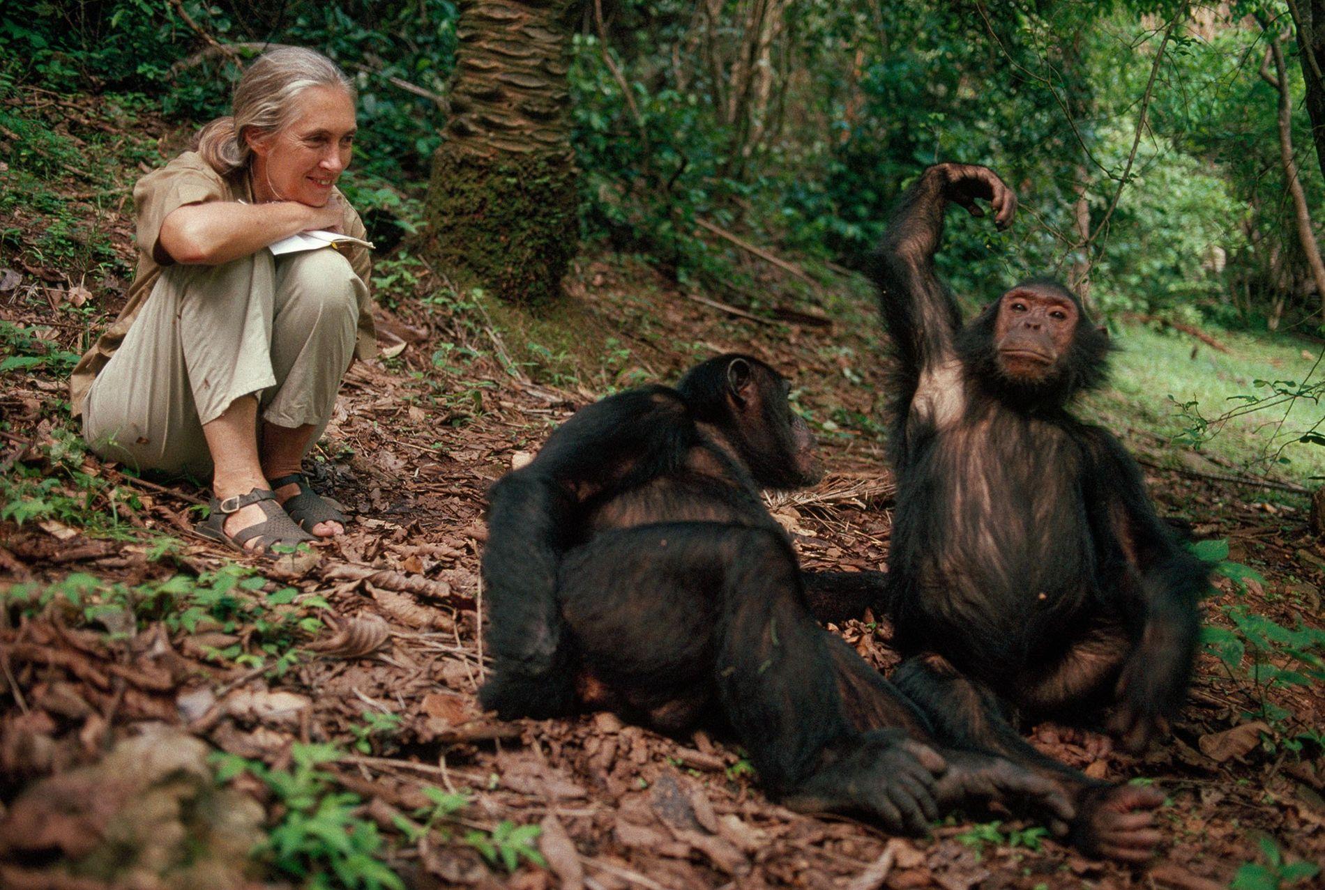 Récoltant les fruits d'années de dévouement, Jane Goodall sourit de toutes ses dents face aux chimpanzés de Gombe. « Nous avons mené la plus longue étude de tous les temps et, à moins que nous nous arrêtions, qui peut nous battre ? », questionne-t-elle.