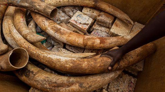 La nouvelle législation ne s'applique pas à l'ivoire coupé ou taillé, ni aux 170 tonnes de ...