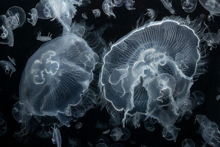Les créatures gélatineuses comme ces méduses aurélie (de l'espèce Aurelia) sont mangées par de nombreuses espèces ...