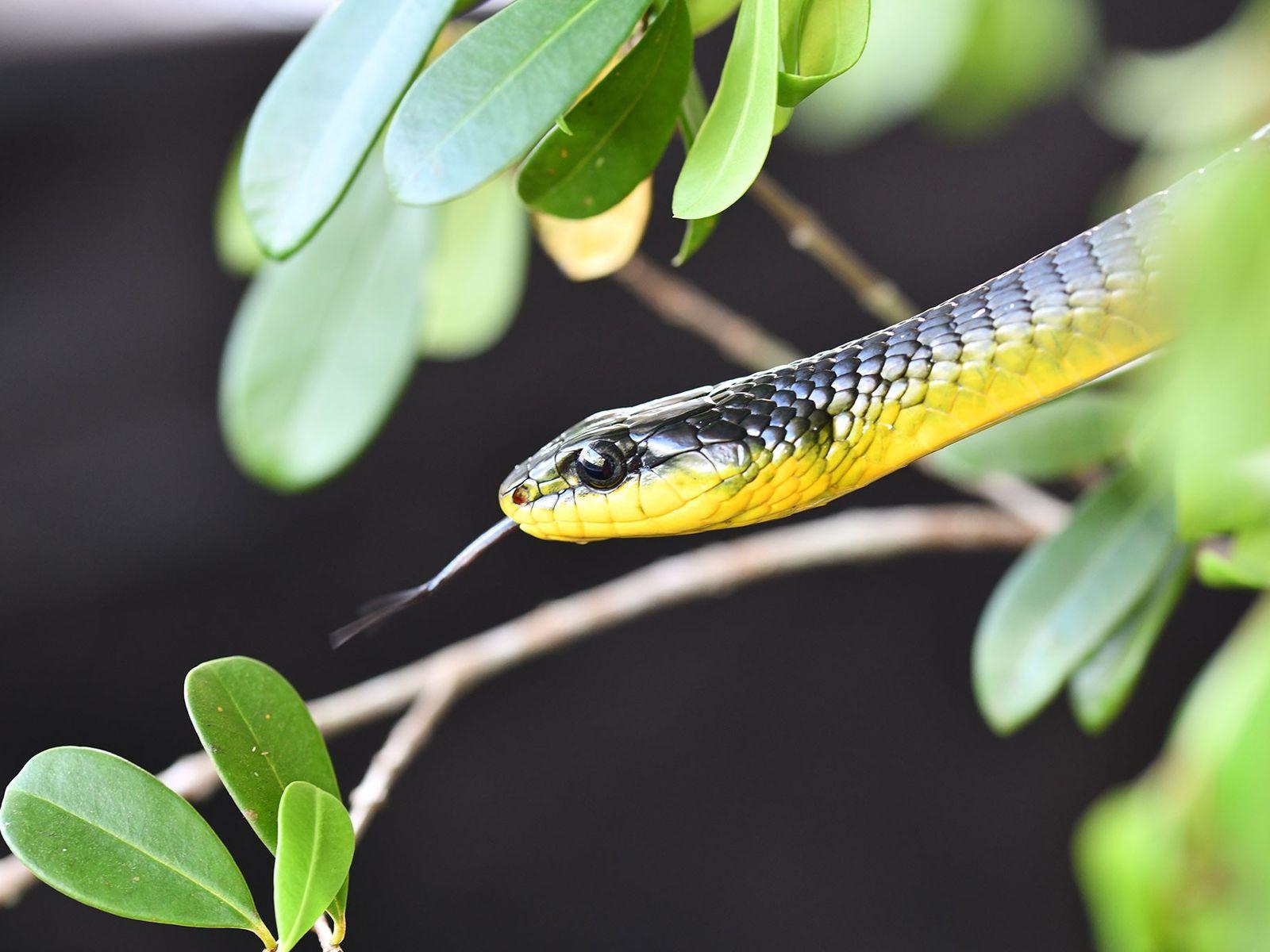 Un serpent arboricole du genre Dendrelaphis se prélasse au soleil entre deux expériences scientifiques.