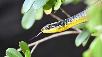 Ces serpents sautent, mais dans quel but ?