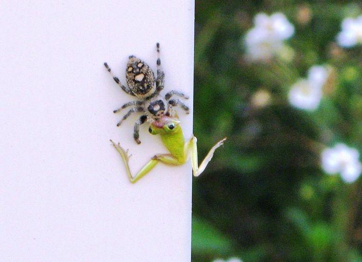 Une araignée sauteuse royale femelle déguste une rainette cubaine dans un quartier résidentiel de Land O' ...