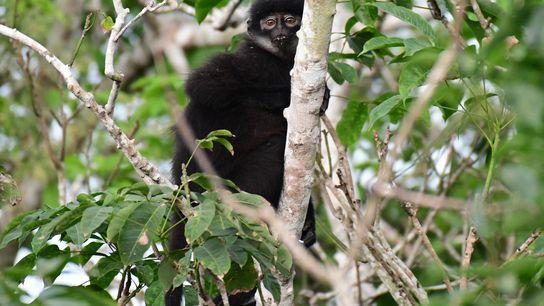 Le semnopithèque malais de Sumatra oriental nouvellement décrit (Presbytis percura) est considéré comme une espèce en danger ...
