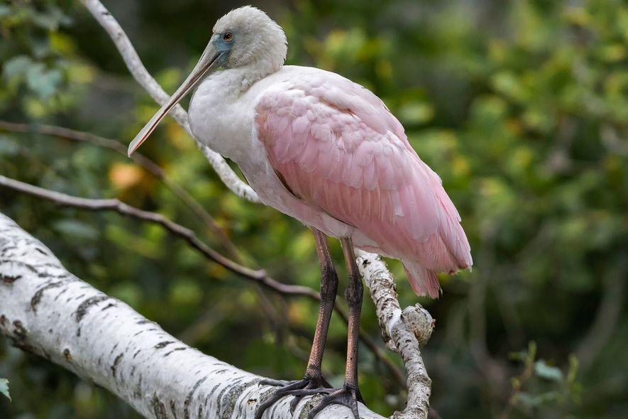 Un oiseau tropical a été observé dans le Connecticut, très loin de son habitat naturel