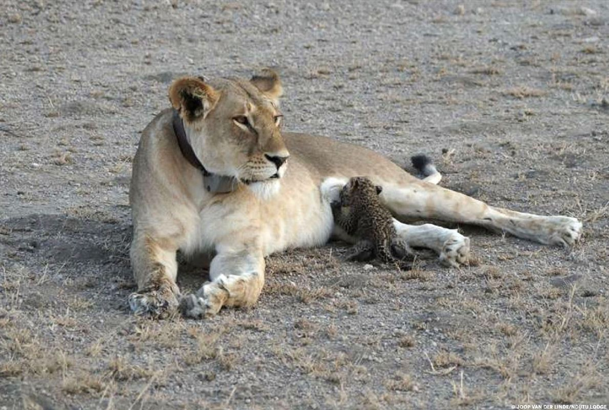 Rare : Une lionne adopte un bébé léopard