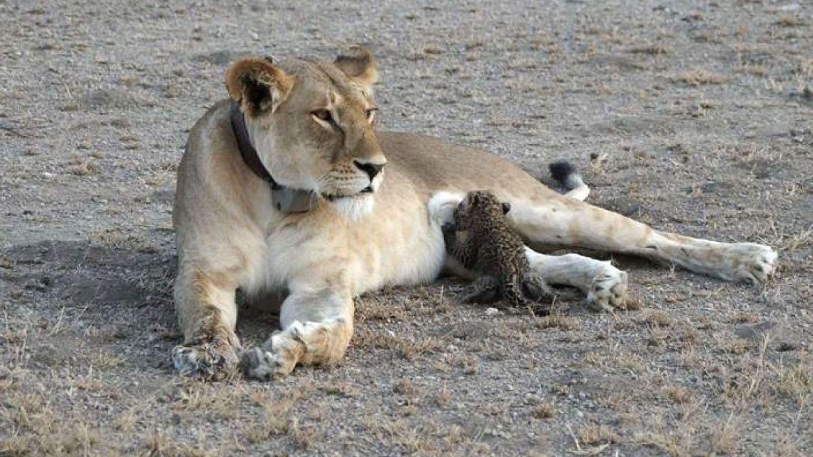 En Tanzanie, un bébé léopard âgé de quelques semaines tète une lionne.