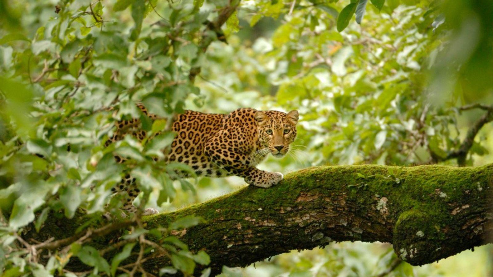 En Inde, les léopards et les Hommes s'affrontent de plus en plus à mesure que les ...