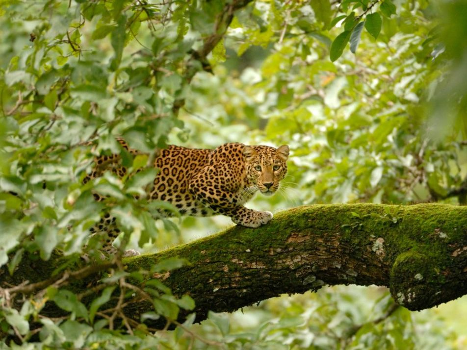 Cette communauté indienne a appris à co-exister avec les léopards