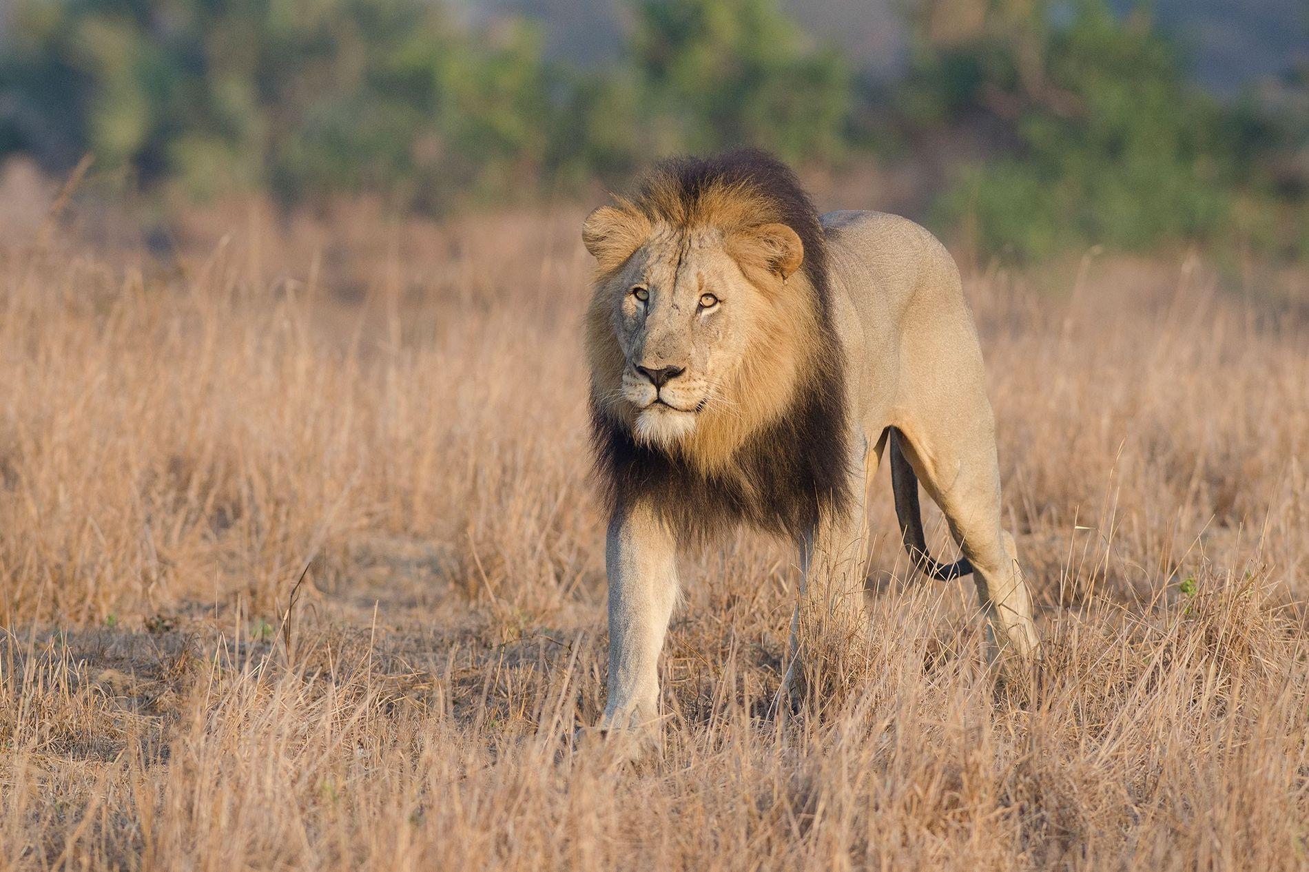 Un lion mâle parcourt la réserve Phinda Private Game en Afrique du Sud. Les autorités ne ...