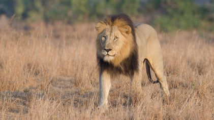 Un braconnier présumé a été tué par un clan de lions