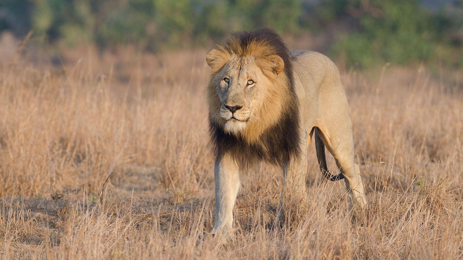 Ce lion a été photographié dans une réserve de l'Afrique du Sud. Cette semaine, une autre ...