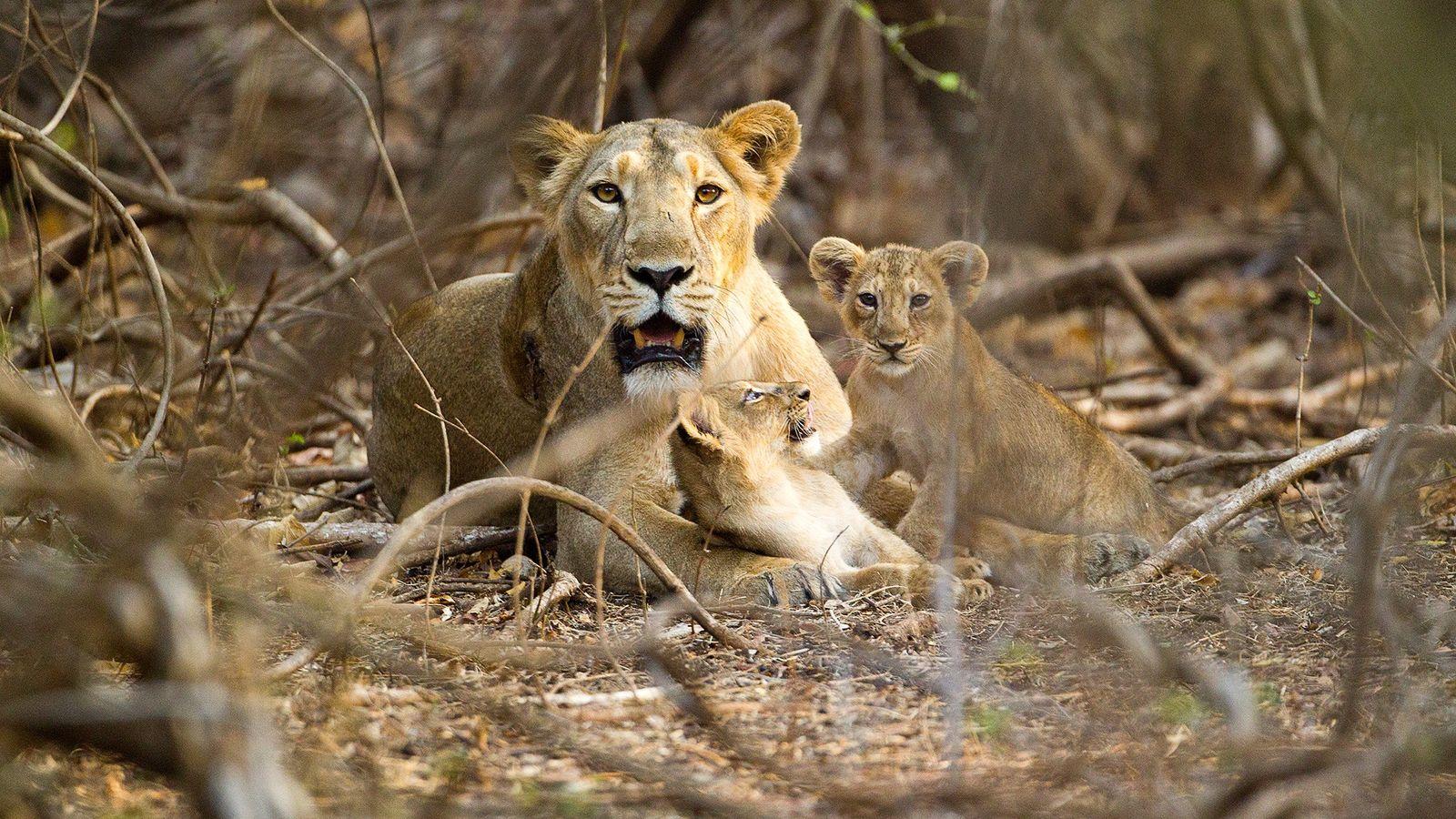 Une lionne asiatique se repose avec ses deux lionceaux dans le parc national et sanctuaire faunique ...