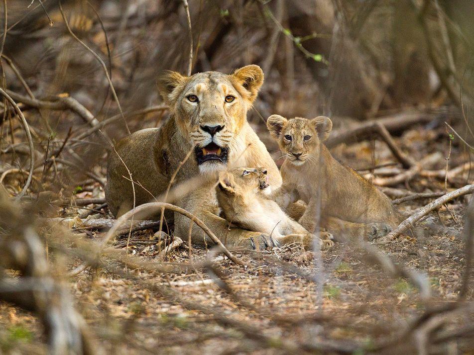 Comment les lionnes d'Asie protègent-elles leurs petits des mâles infanticides ?