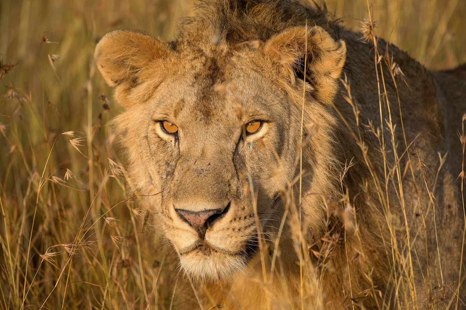 Cette étude pourrait sauver les lions de l'extinction