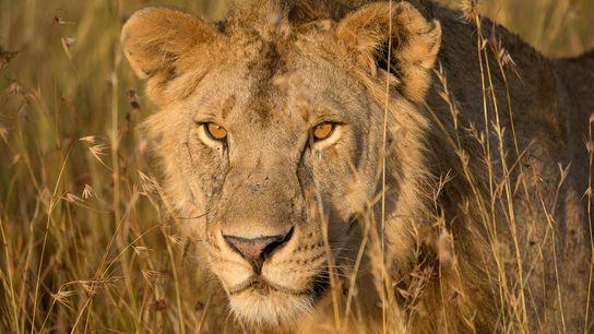 Un lion d'Afrique avance dans les hautes herbes en Tanzanie alors que le soleil darde ses ...