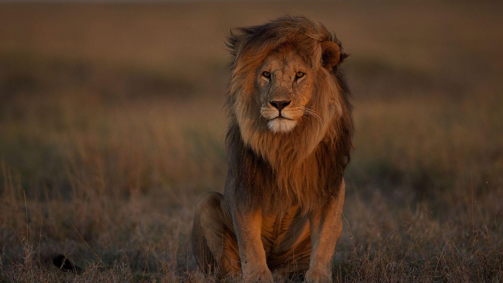 Un lion mâle adulte pose dans le Serengeti. La disparition de leurs proies, la perte d'habitat ...