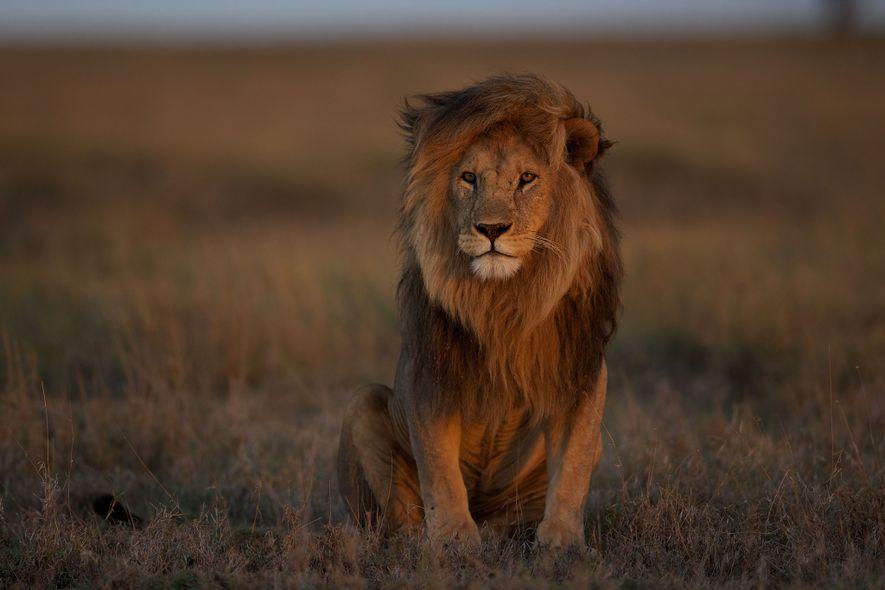 La moitié des lions africains ont disparu ces 25 dernières années