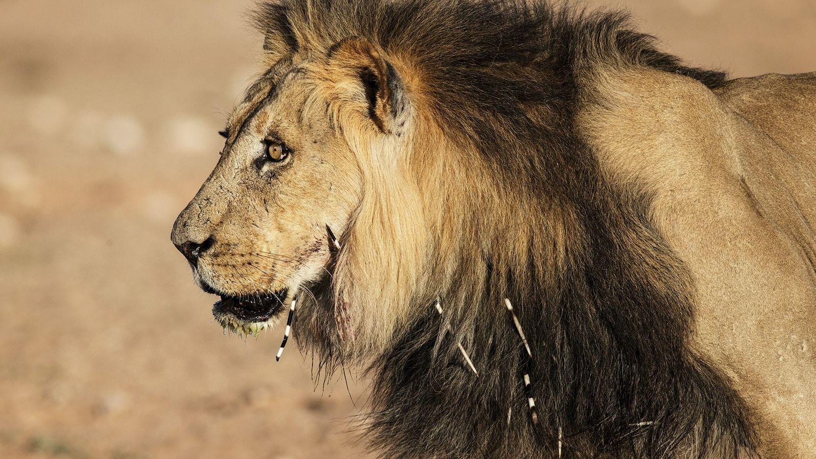 Un lion blessé par des piquants de porc-épic plantés dans sa gueule et son cou dans ...