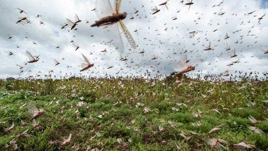 Environnement : invasion de criquets en Afrique de l'Est