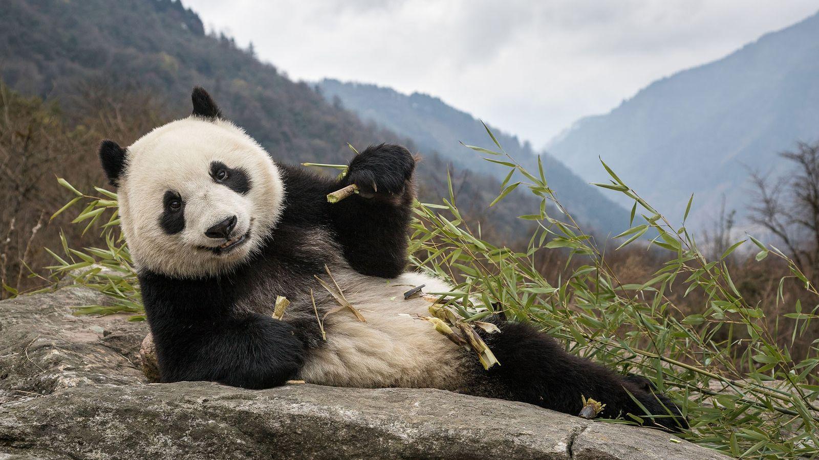 Un jeune panda mange du bambou au centre de recherche sur le panda géant de Chengdu, ...