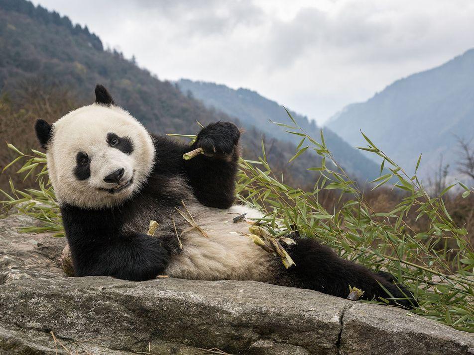 Chine : Découverte du plus vieux fossile de panda géant au monde