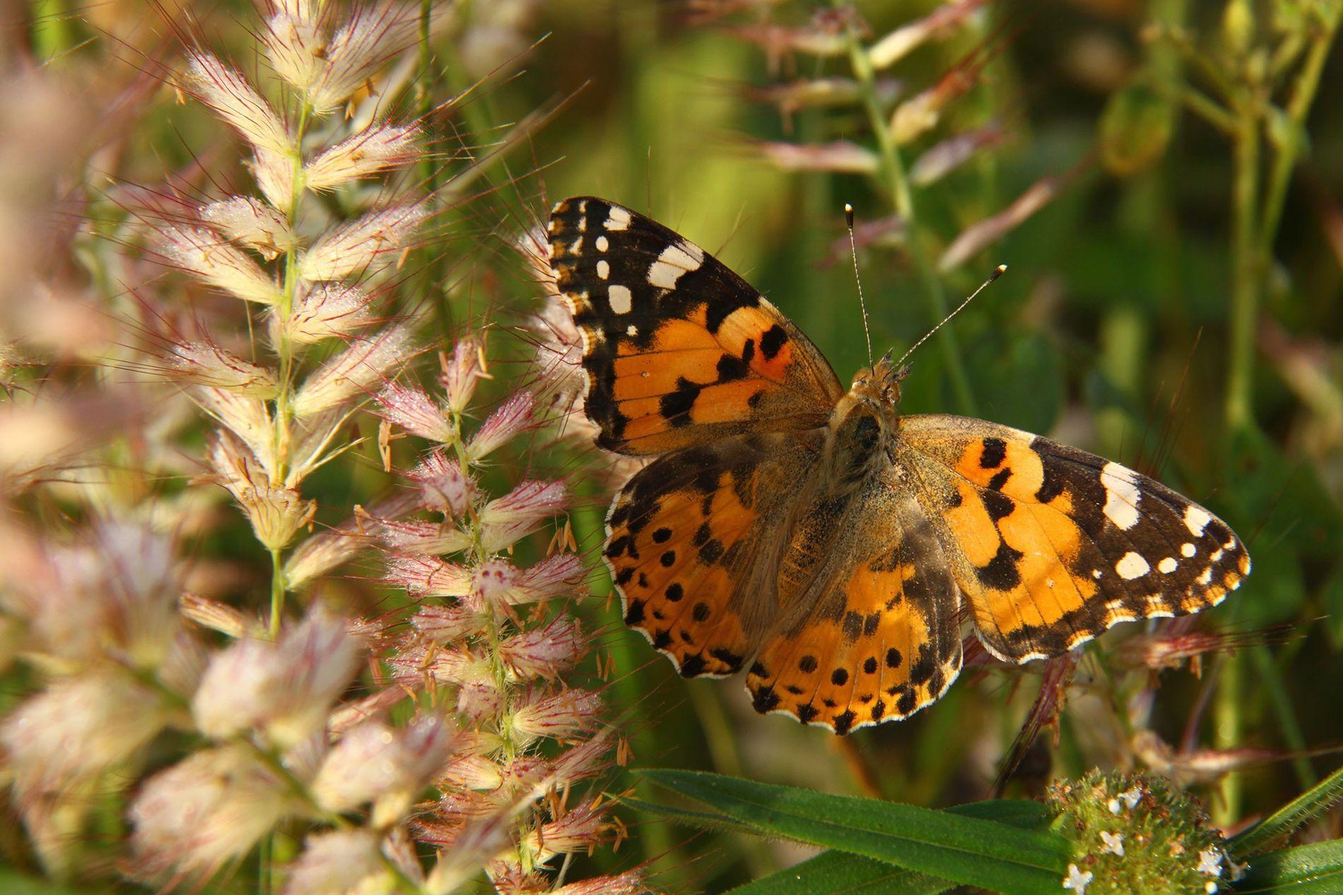 Un papillon belle-dame déploie ses ailes pour profiter des rayons du soleil.