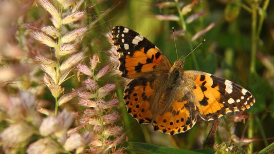 Ce petit papillon peut parcourir plus de 4 000 km en un seul vol, un record