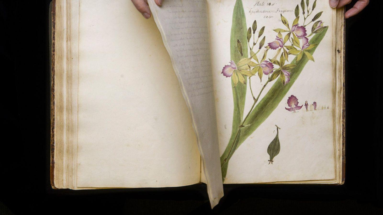 Caesalpinia pulcherrima est une espèce de plantes dicotylédones que l'on trouve dans les régions tropicales et ...