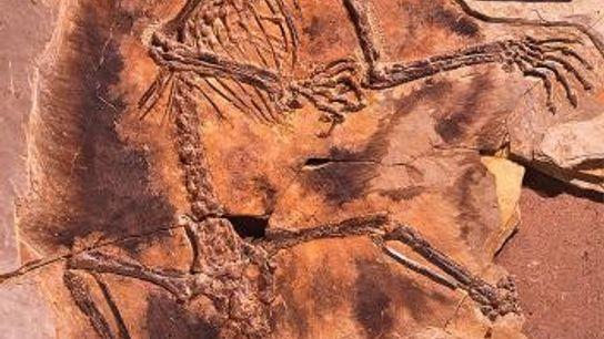 Le fossile très détaillé du mammifère Maiopatagium furculiferum montre très clairement les membranes poilues connectées aux ...