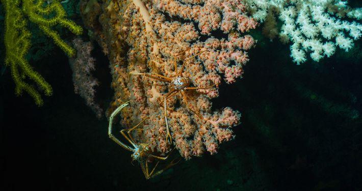 Ces coraux roses du Seamounts Monument servent d'habitat à deux crabes.