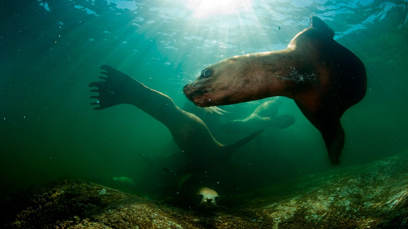 Des lions de mer de Steller nagent au large de la Colombie-Britannique. Les scientifiques sont préoccupés ...