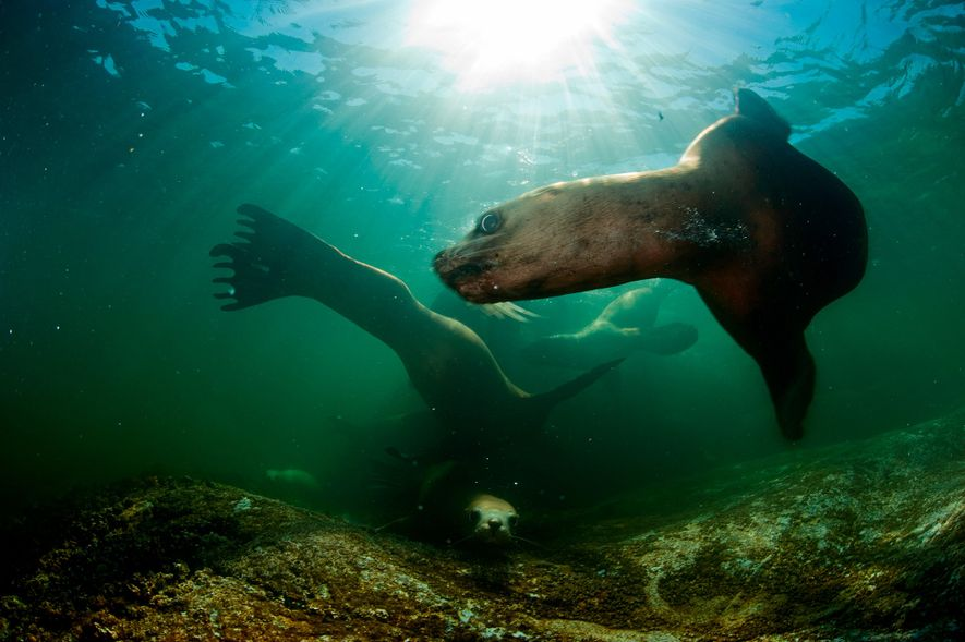 Un virus mortel pour les mammifères marins se propage à mesure que la glace fond