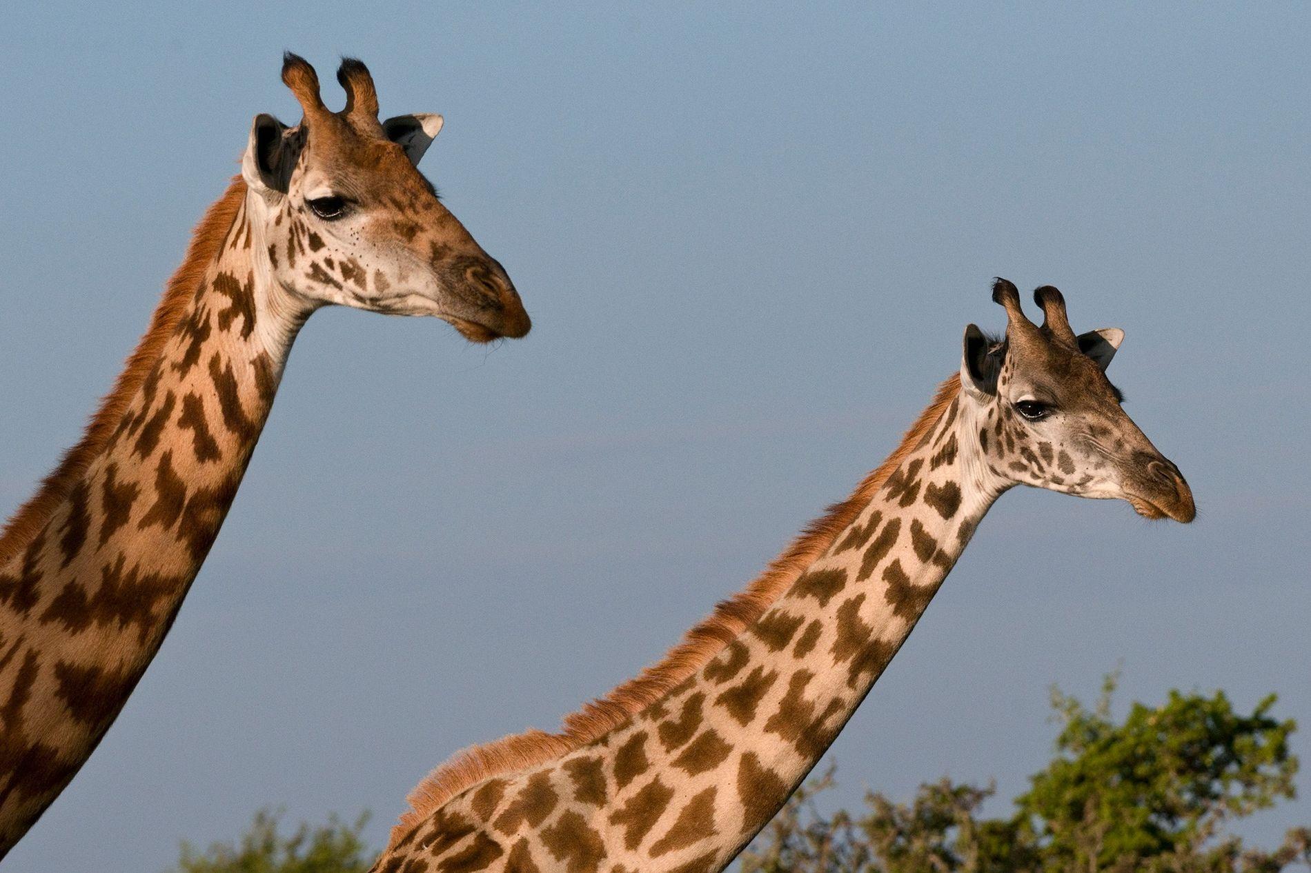 Il reste 35 000 girafes masaï à l'état sauvage. Leur population a diminué de près de ...