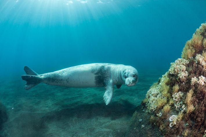 Un phoque moine de Méditerranée adulte nage dans les eaux qui entourent le parc national de ...