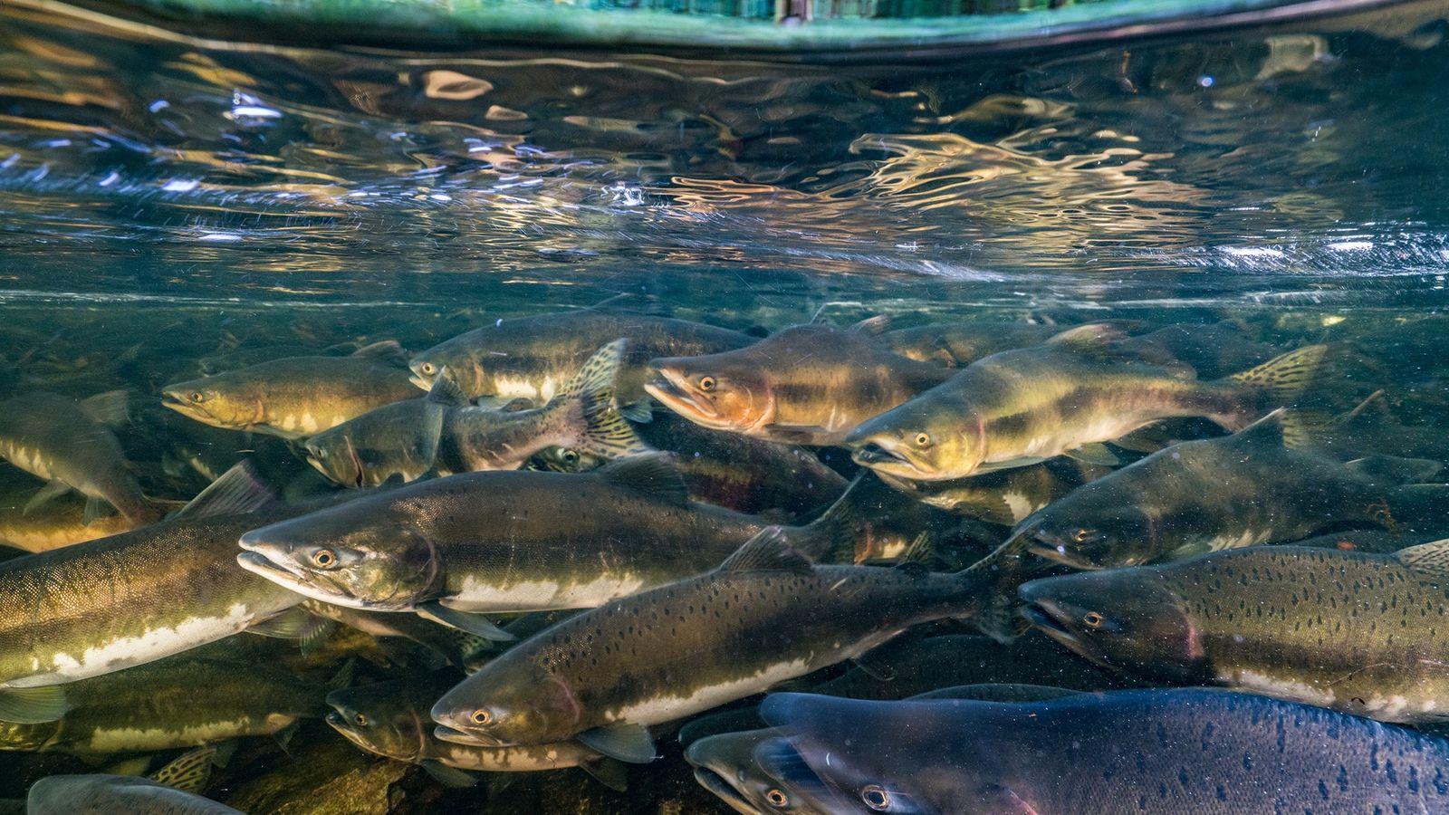 Le saumon royal (Oncorhynchus tshawytscha), tout comme d'autres poissons migrateurs, est menacé par la surpêche, la ...