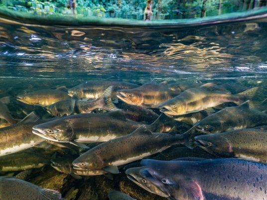 En 50 ans, les populations de poissons migrateurs ont décliné de 76 %