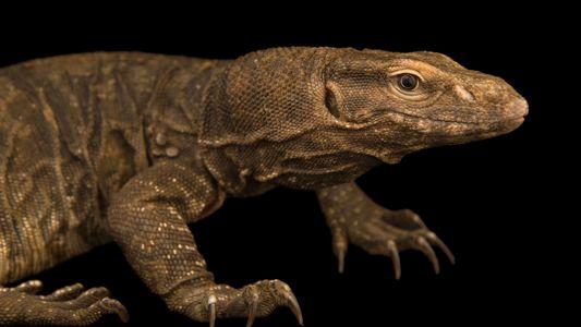Certains lézards peuvent mesurer plus de 1.5 mètre