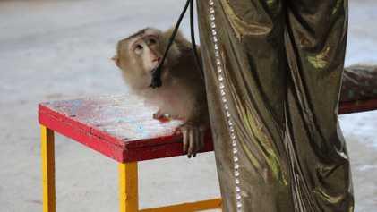 Les spectacles de singes (enfin) interdits dans la réserve de Can Gio