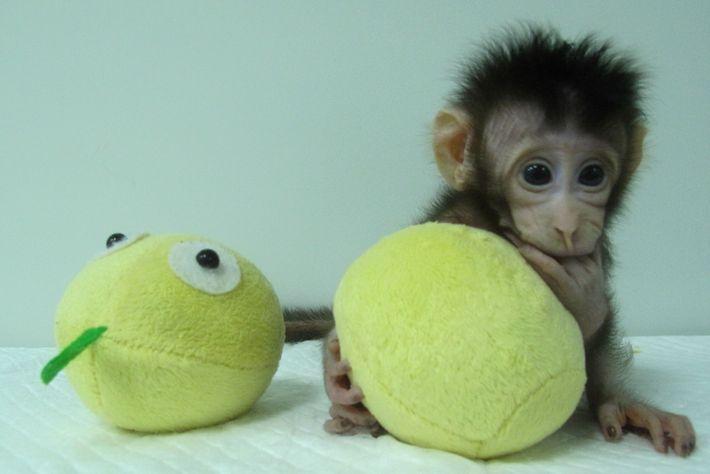 Hua Hua, l'un des premiers clones de singe réalisés par transfert nucléaire de cellules somatiques.