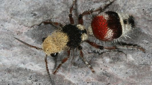 Quelle est la piqûre d'insecte la plus douloureuse ?