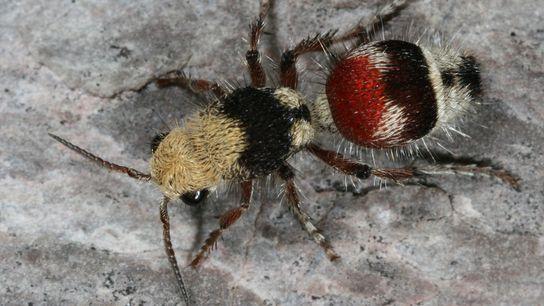 Les fourmis de velours femelles sont des guêpes sans ailes dont la taille varie de petite, ...