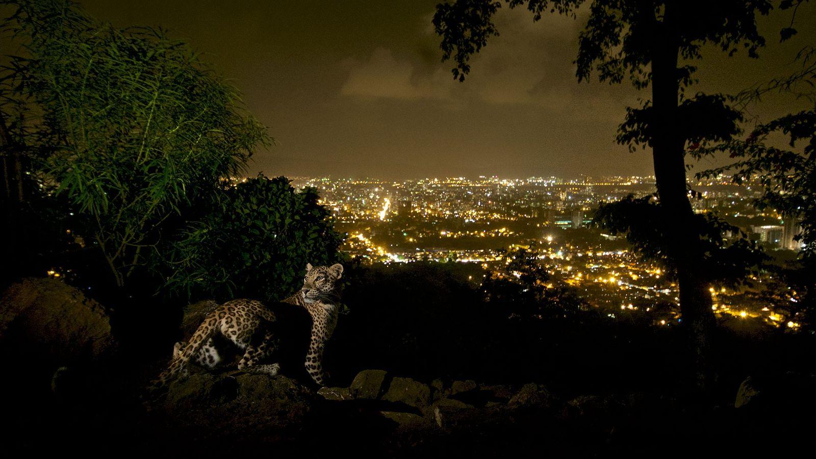 Un léopard pris en photo par une caméra à distance dans le parc national Sanjay Gandhi ...