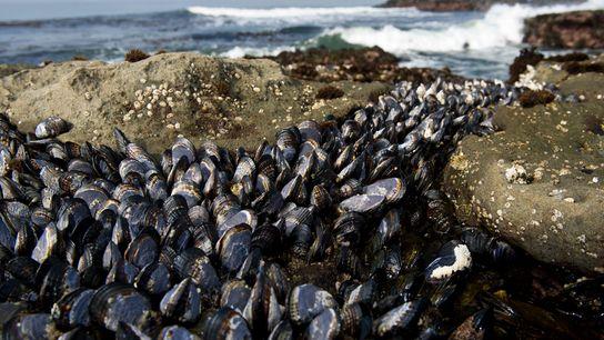 Ces moules (Mytilus trossulus) photographiées sur une plage de l'île de Vancouver dans la province canadienne ...