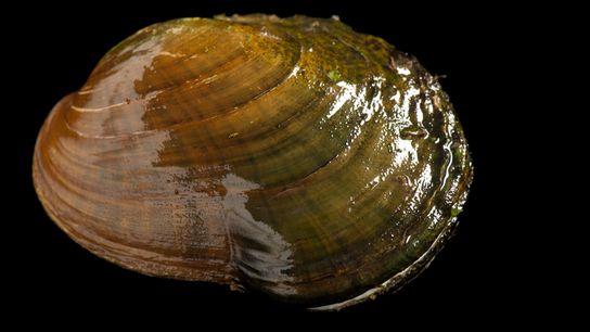 Epioblasma capsaeformis est une espèce en danger native de la rivière Clinch, un cours d'eau qui ...