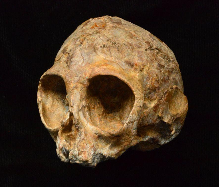 Le crâne de l'espèce éteinte de singes tout juste découverte, Nyanzapithecus alesi.