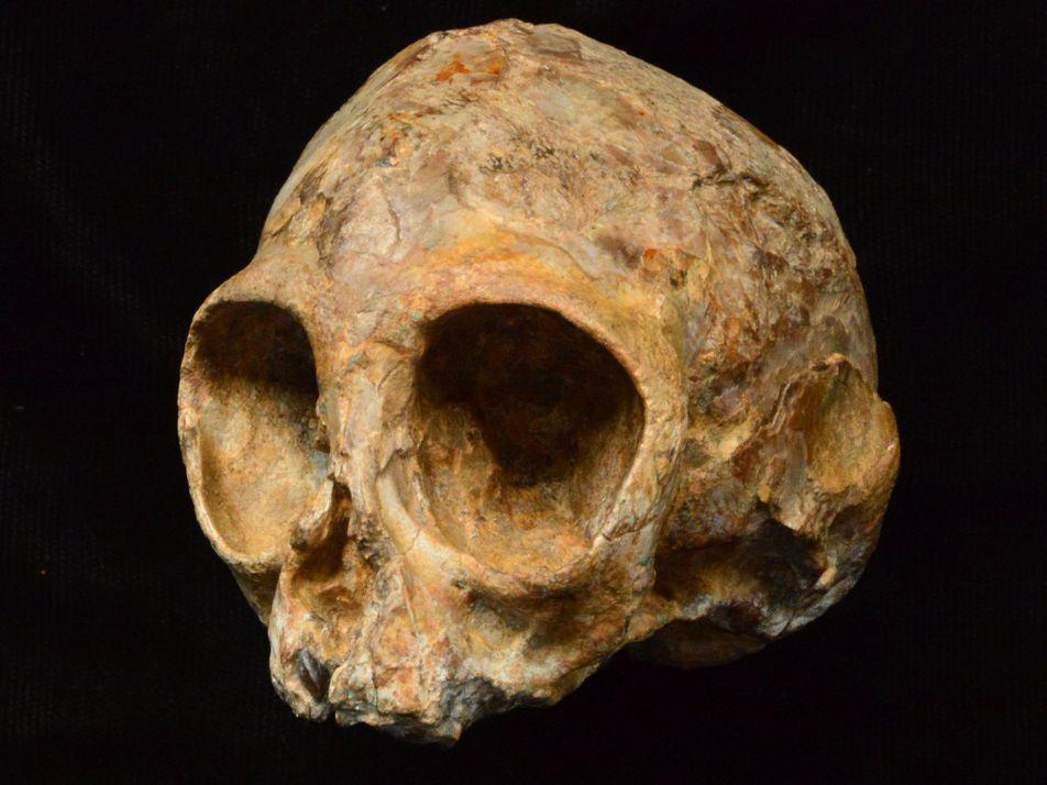 Un crâne de singe de 13 millions d'années découvert au Kenya