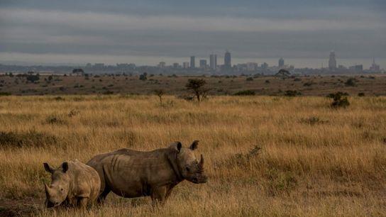 Les rhinocéros blancs broutent l'herbe du parc national de Nairobi, le plus vieux parc national du ...