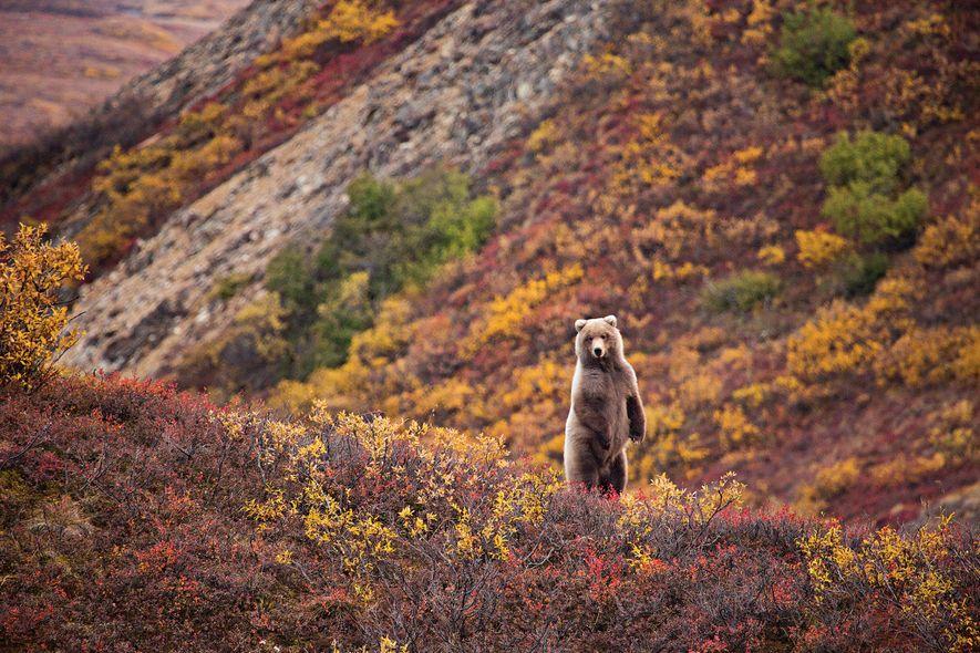 Au parc national de Denali, l'automne est la saison idéale pour observer la faune. Exemple en …
